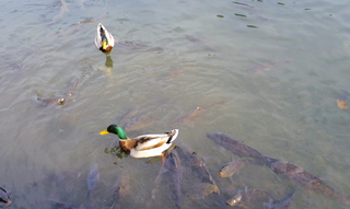 鯉と鴨.jpg